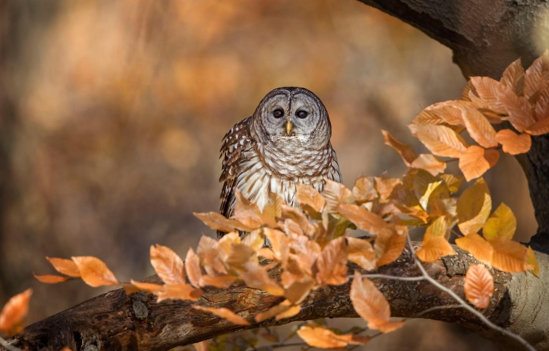 Фото обои осень, взгляд, листья, ветки, фон, дерево, сова, птица, листва, боке, золотая осень, неясыть, пестрая