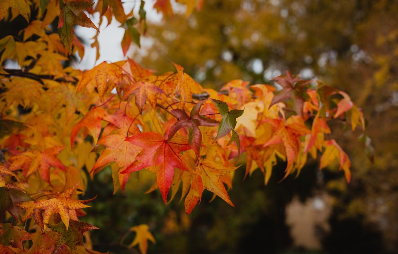 Фото обои осень, листья, дерево, colorful, клен, autumn, leaves, осенние, maple