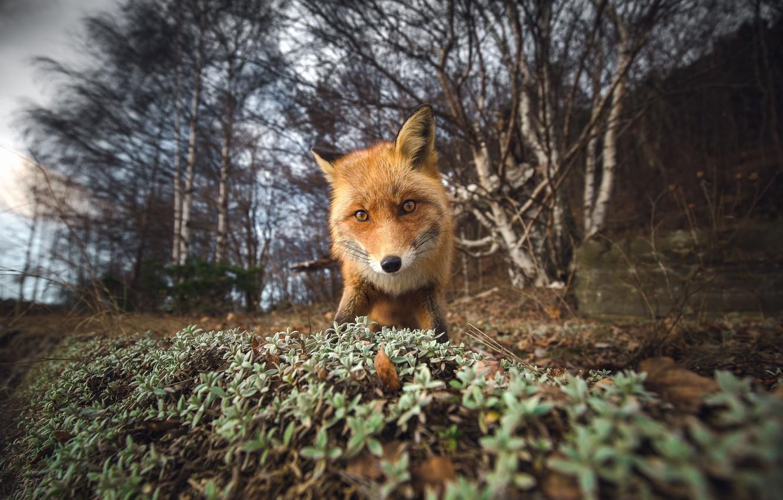Фото обои fox, camera, look, curious