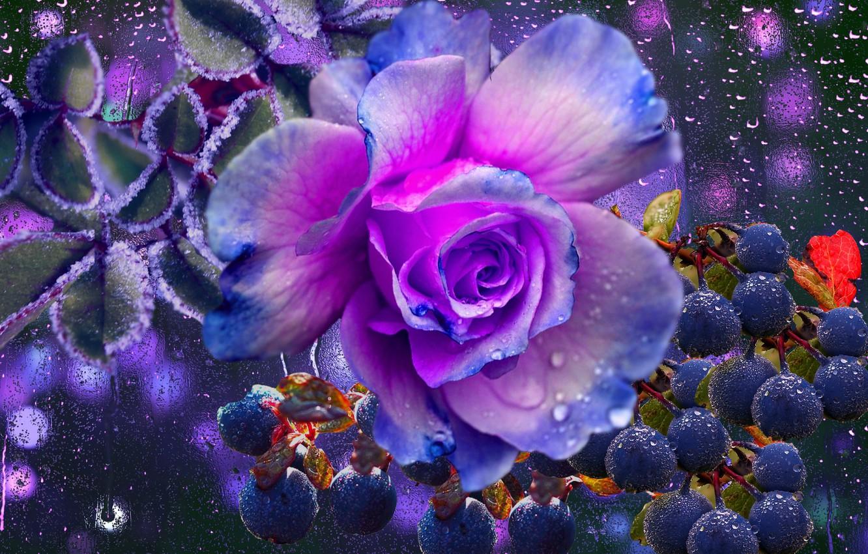 Фото обои капли, ягоды, дождь, роза, настроение осени