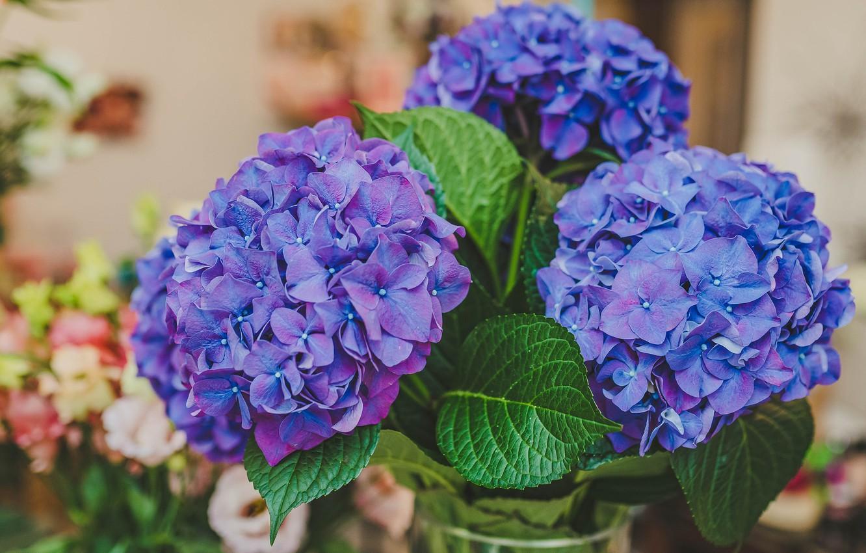 Обои гортензия, цветы, комната. Цветы foto 7