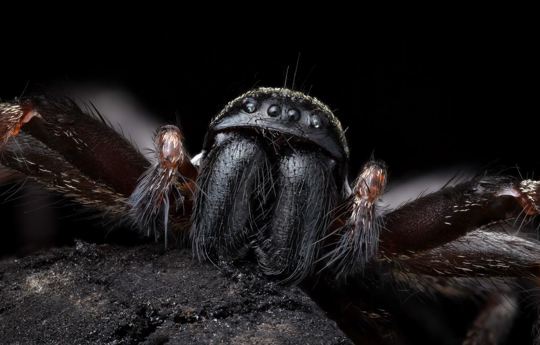 Фото обои Nature, Macro, Grey house spider, Badumna longinqua