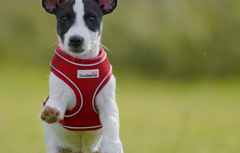 Фото обои фон, собака, прогулка, пёсик, жилетка, Джек-рассел-терьер