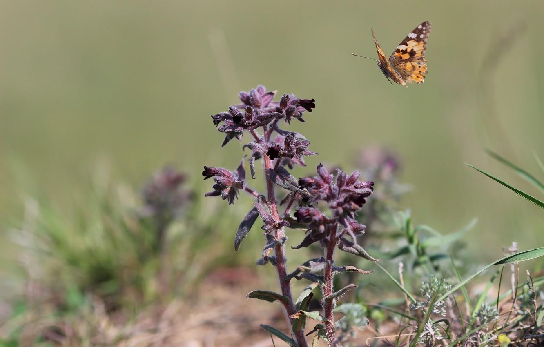 Фото обои цветок, степь, фон, бабочка