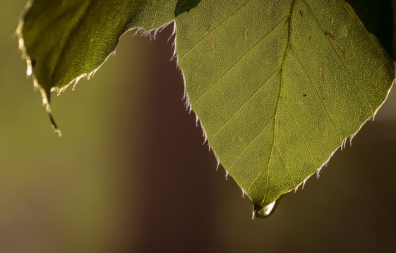 Фото обои листья, природа, капля