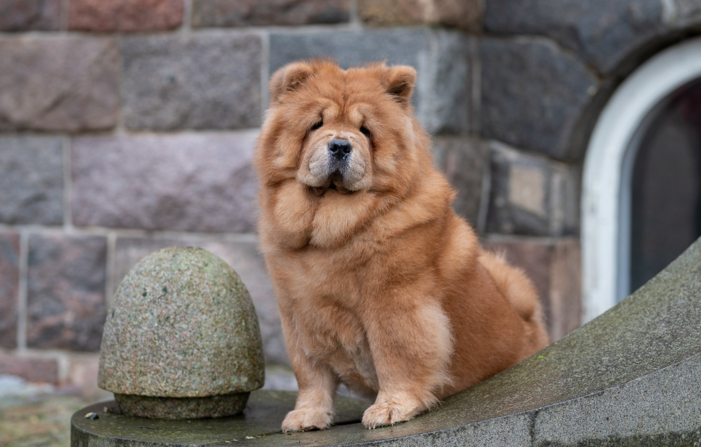 Фото обои взгляд, собака, Чау-чау