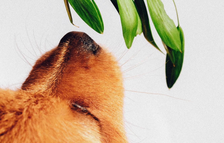 Фото обои морда, растение, собака, нос, щенок, нюхает