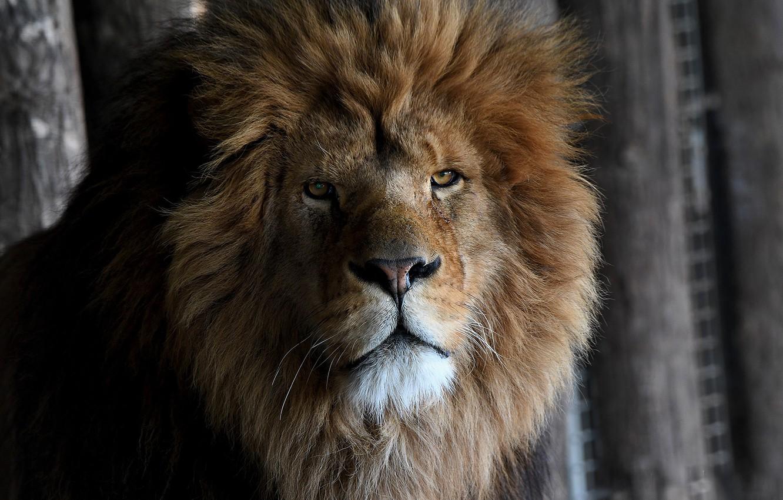 Фото обои лев, царь, зверь