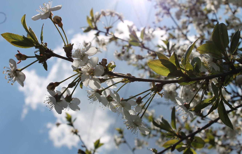 Фото обои солнце, цветы, тепло, весна, май, цветение, белые цветы, голубое небо