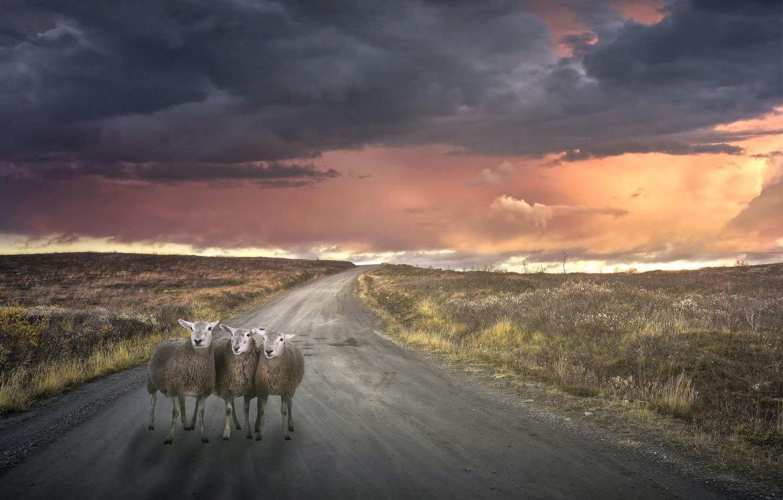 Фото обои дорога, закат, овечки, пустая, отбившиеся от отары, потерявшиеся