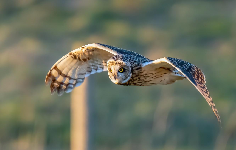 Фото обои фон, сова, птица, крылья, полёт, Болотная сова