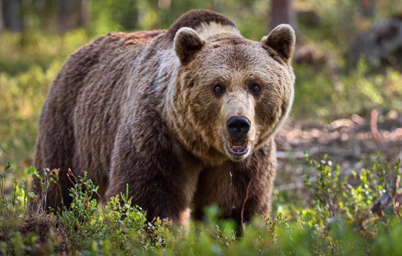 Фото обои лето, природа, животное, хищник, медведь, бурый, Александр Перов