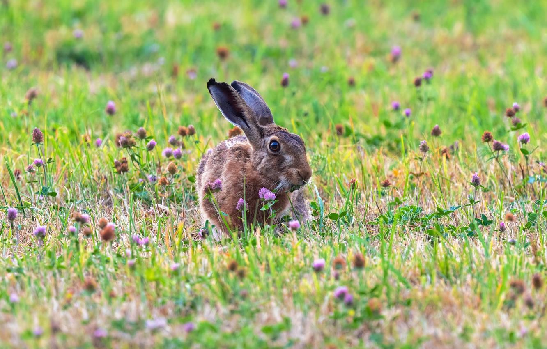 Фото обои лето, природа, заяц