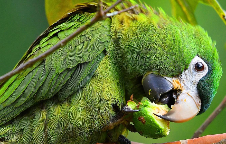 Фото обои взгляд, поза, зеленый, фон, птица, еда, клюв, попугай, когти, окрас, обед, ара, оперение, трапеза