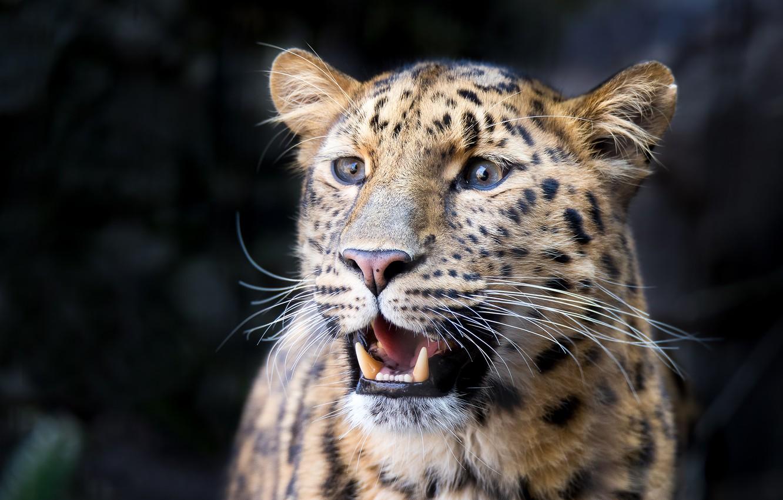 Фото обои морда, фон, хищник, леопард, дикая кошка