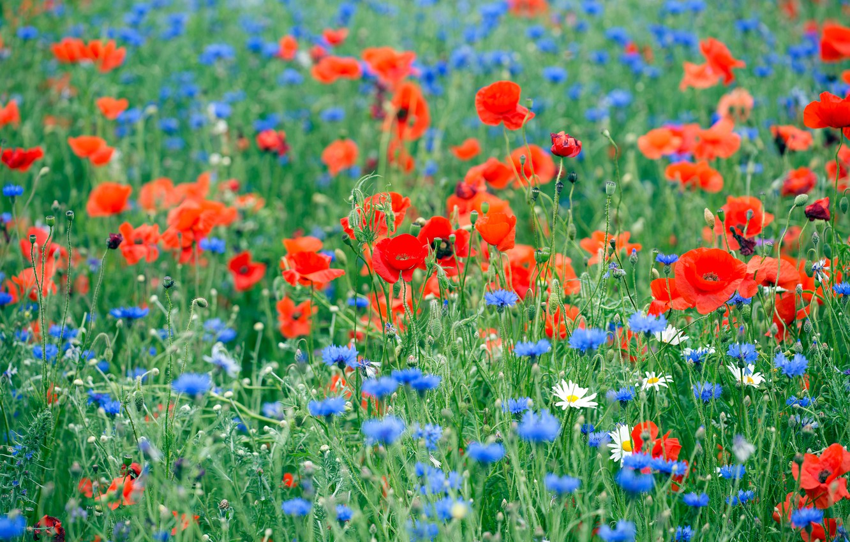 Фото обои лето, цветы, маки, ромашки, луг, голубые, красные, полевые, синие, много, васильки, маковое поле, чркие