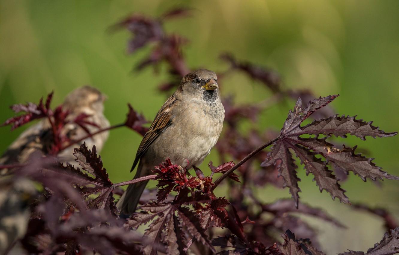 Фото обои листья, птица, растение, воробей, боке
