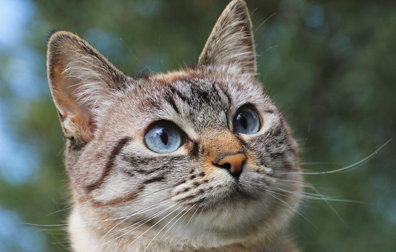 Фото обои голубые глаза, серая кошка, Юлита