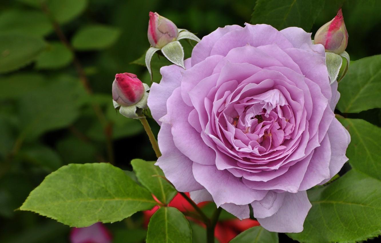 Фото обои листья, роза, лепестки, бутоны, сиреневая