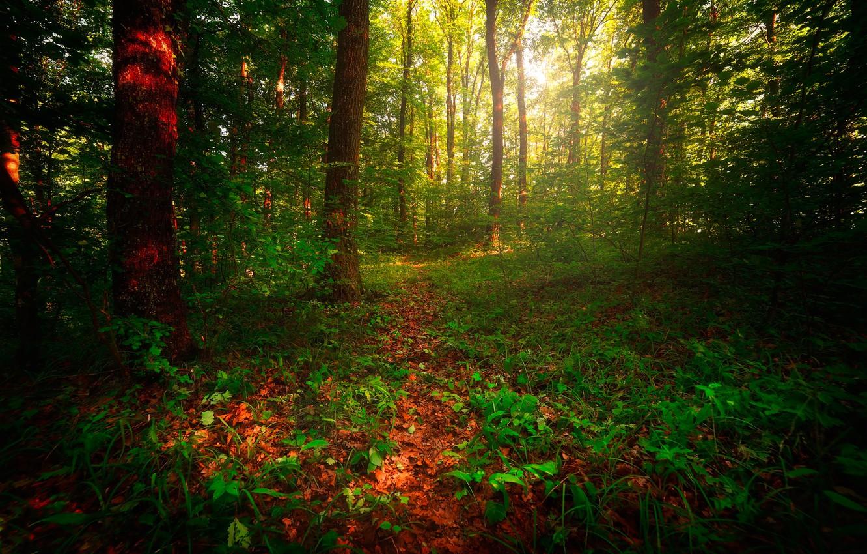 Фото обои лес, трава, деревья