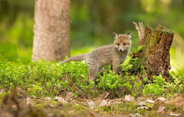 Фото обои зелень, лес, трава, взгляд, листья, природа, поза, фон, дерево, пень, весна, маленький, малыш, лиса, лисица, …