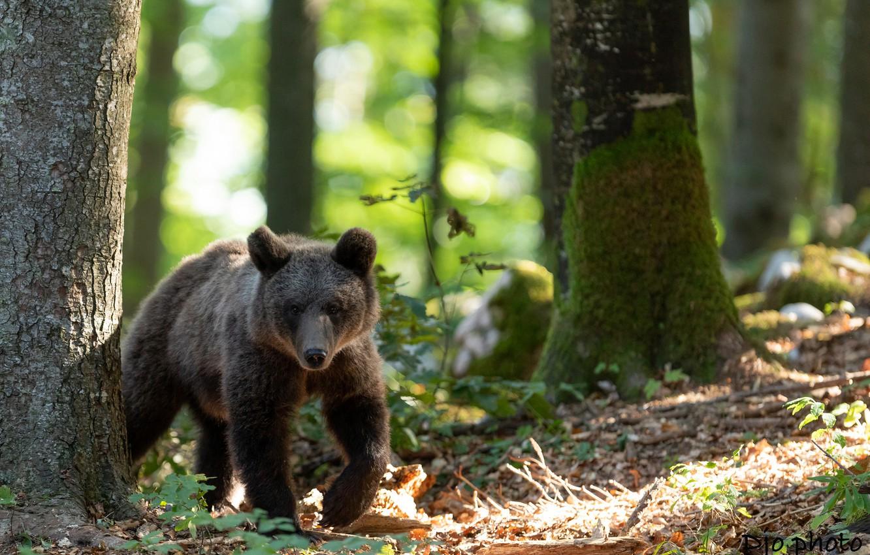Фото обои зелень, лес, солнце, деревья, природа, мох, медведь, медвежонок, боке, бурый