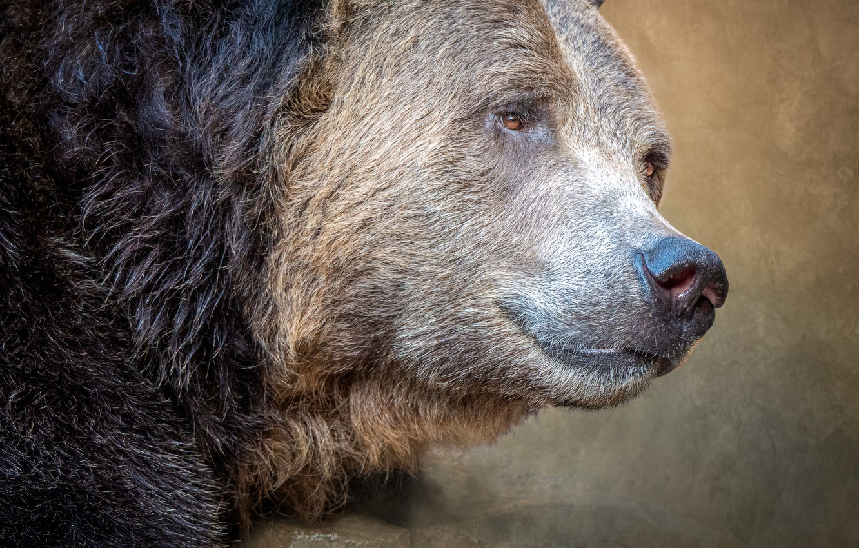 Фото обои портрет, хищник, медведь