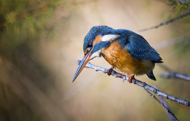 Фото обои природа, веточка, фон, птица, зимородок