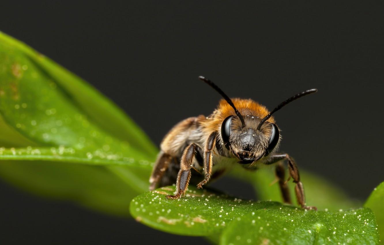 Фото обои макро, лист, пчела, фон, насекомое