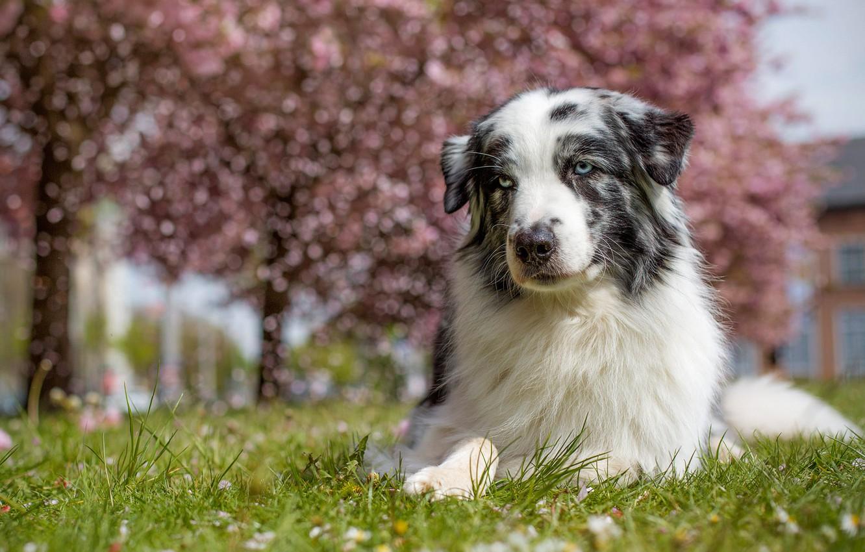 Фото обои трава, взгляд, морда, свет, деревья, природа, поза, стволы, улица, портрет, собака, весна, сад, лежит, белая, …