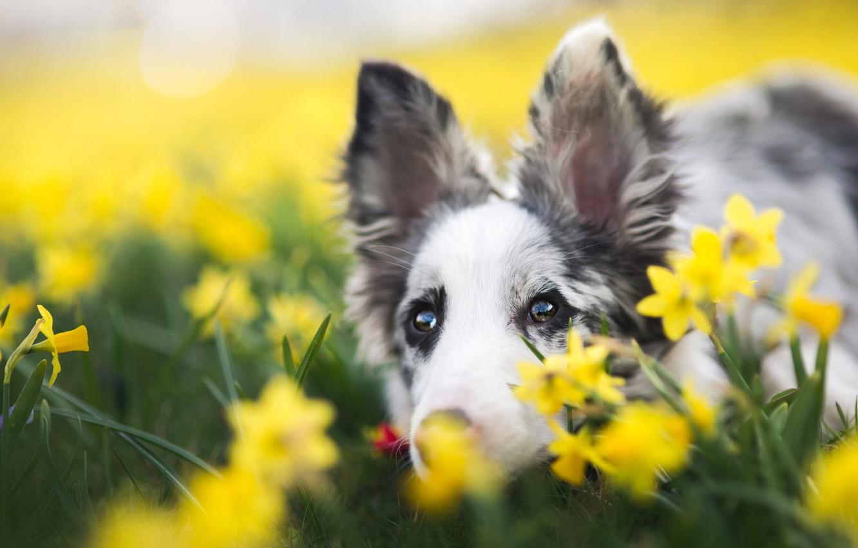 Фото обои глаза, взгляд, морда, цветы, фон, портрет, собака, весна, желтые, щенок, уши, нарциссы, пятнистый, австралийская овчарка, ...