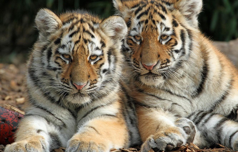 Фото обои котята, дикие кошки, парочка, тигры, тигрята, детёныши