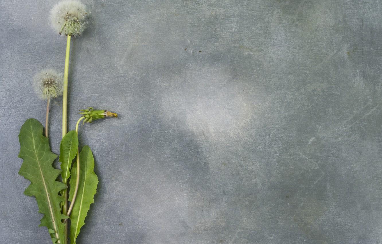 Фото обои цветок, одуванчик, весна