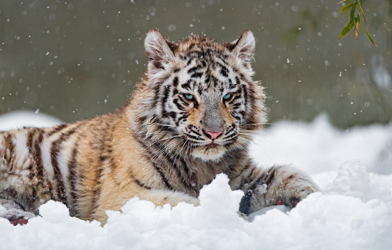 Картинка белого тигра на снегу фото