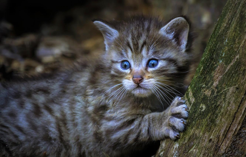 Фото обои кот, взгляд, морда, котенок, серый, фон, дерево, лапа, малыш, когти, котёнок, детеныш, дикий, голубоглазый, лесной, …