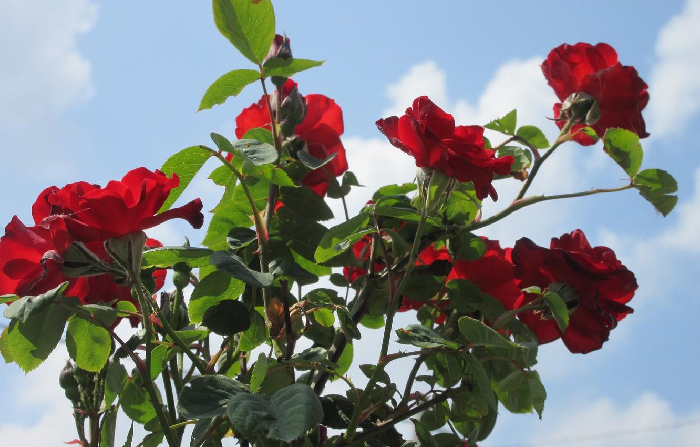 Фото обои небо, цветы, куст, красные розы, весна 2018, Mamala ©