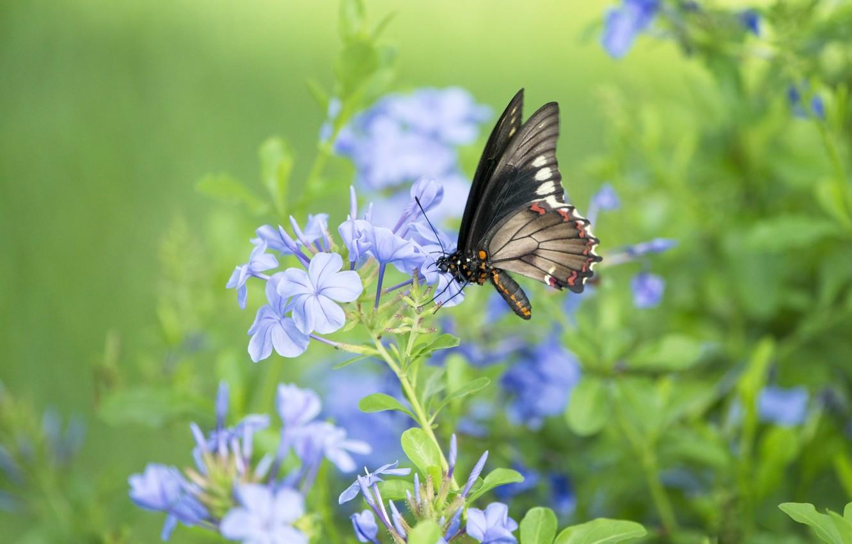 Фото обои цветок, бабочка, butterfly