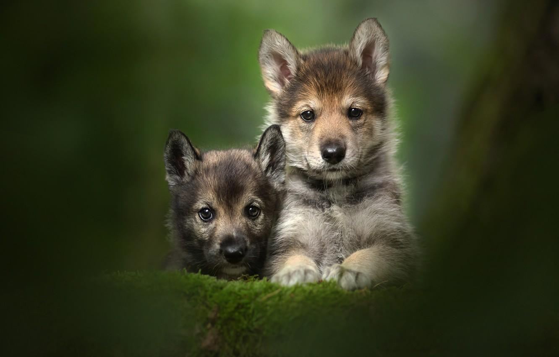 Фото обои взгляд, щенки, малыши, парочка, дуэт, боке, мордашки, Тамасканская собака