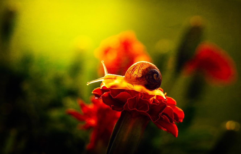 Фото обои цветок, макро, свет, красный, зеленый, фон, улитка, лепестки, сад, ракушка, рожки, боке