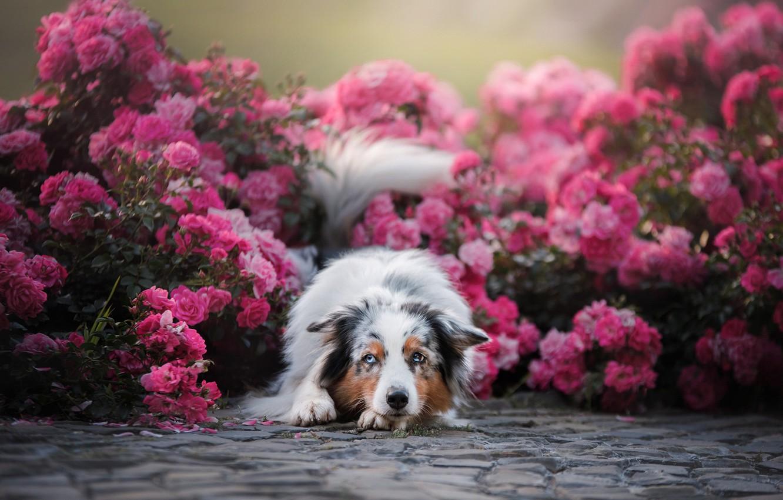 Фото обои цветы, розы, собака, Австралийская овчарка, Аусси, розовые кусты