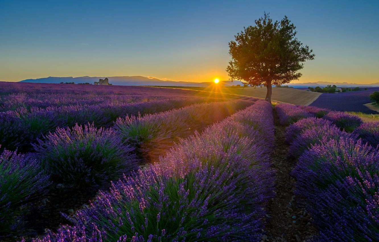 Фото обои лето, небо, солнце, лучи, свет, закат, цветы, дерево, холмы, вечер, ряды, лаванда, плантация, лавандовое поле