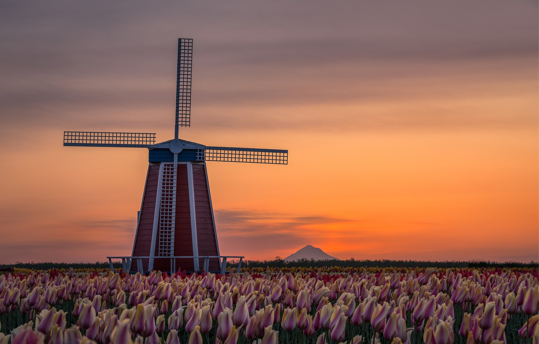 Фото обои пейзаж, цветы, природа, рассвет, весна, утро, Орегон, мельница, тюльпаны, США, плантация