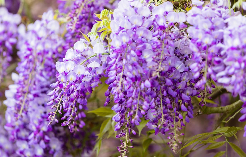 Фото обои цветы, крупный план, ветки, природа, фон, цвет, красота, весна, цветение, каскад, сиреневая, красивые, соцветия, сиреневые, …