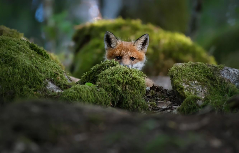 Фото обои fox, лисенок, Christian Lindsten