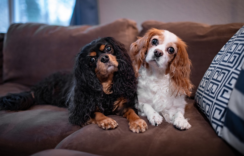 Обои собаки, взгляд, поза, комната, диван, вместе, две, портрет ...