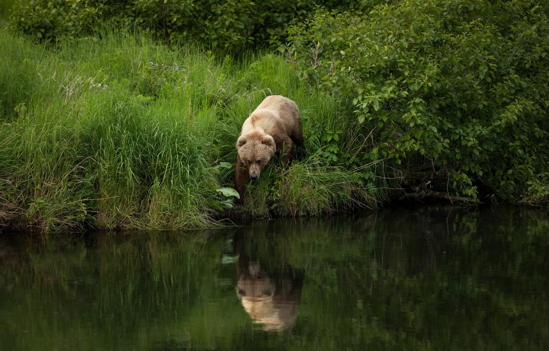 Фото обои лето, трава, природа, поза, отражение, река, берег, листва, медведь, прогулка, кусты, водоем, бурый, рыболов, идет …
