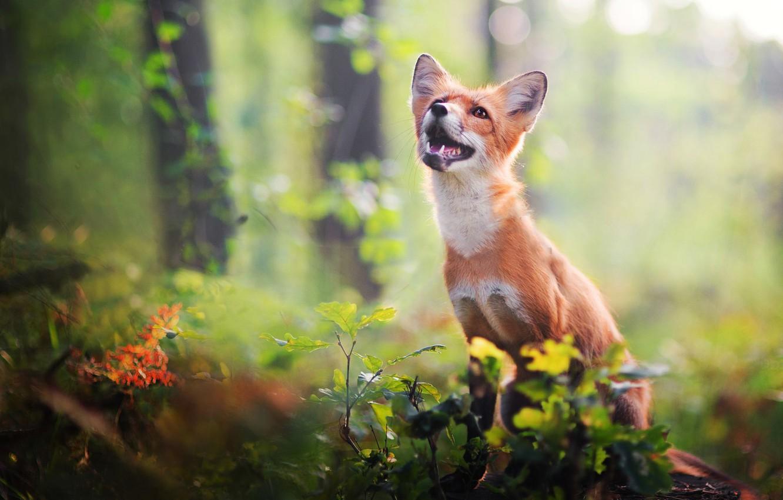 Фото обои лес, взгляд, листья, природа, поза, зеленый, фон, растительность, пень, мордочка, пасть, лиса, клыки, сидит, лисица, …