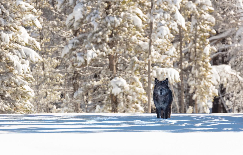 Фото обои зима, лес, снег, природа, животное, волк, хищник