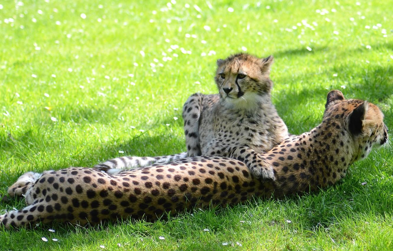 Фото обои зелень, трава, взгляд, отдых, поляна, малыш, пара, гепард, мордашка, детеныш, лужайка, два, лежат, мать, гепарды, …