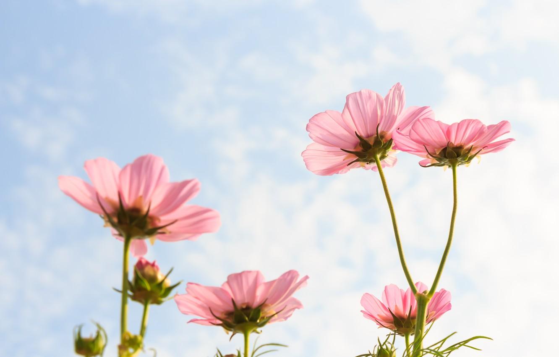 Фото обои поле, лето, небо, солнце, цветы, colorful, луг, summer, розовые, field, pink, flowers, cosmos, meadow
